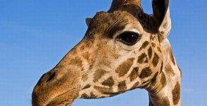 giraffel00
