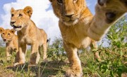 Camera films lions in Masai Mara