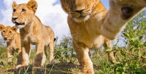 lions-00